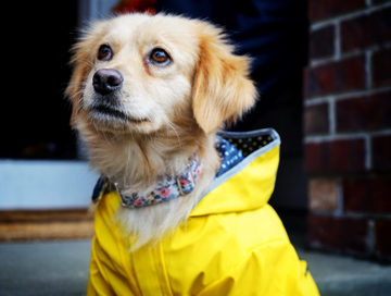 Sweet golden dog in a yellow rain jacket